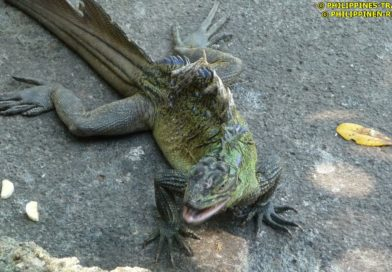 Sights & Sounds of Northern Mindanao - Misamis Oriental - Visit by the Philippine Sailfin Lizards in Jasaan Photo & Video by Sir Dieter Sokoll KR